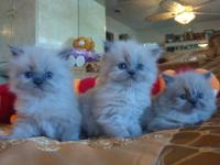 Gorgeous Blue-Point Himalayan-Persian 5 weeks old
