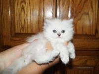 SPLENDID DOLL FACE PERSIAN BLUE POINT HIMILAYAN. SHE