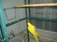 Blue Quaker Parrot for sale $150.00 OBO.Comes with