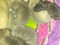 Blue razor edge og romeo and gotti pups just about