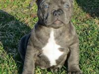 Razor Sharp Blues & & Blue American Bully.com  UKC
