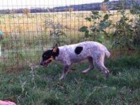 Blue/Red Heeler Male Dog needing a new home asap!! He