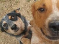 We have beautiful blue/red Heeler pups available Aug.