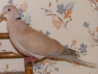RJ7-1 is still available here at Ramsey Ringnecks, a