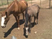 halter trained quarter horse ready to start your own