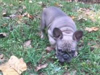 AKC Blue Sable Female French Bulldog pup, born 6/18/15