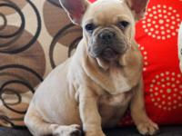Elite qality overdone wrinkles 4 month old male with an