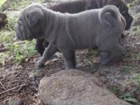 Quality Blue brush and horse coat puppies available