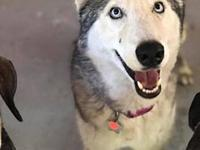 Blue's story Blue is a 2 year old Husky looking for a