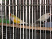 Lady gouldian silver mutation pair: 1st pair: male is
