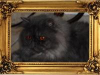 Blue Smoke Persian Male C.F.A. Available with breeding