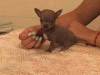 Blue smooth coat Apple head Chihuahua. Beautiful color