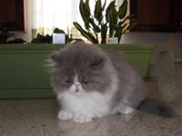 Darling Sweet Blue and White Bi-Color Persian show girl