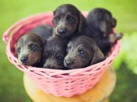 Blue and Tan Dachshund Puppies 6 weeks old 4 males/ 1
