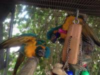 Breeding pair of blue-throat macaws, $4000 OBO. These
