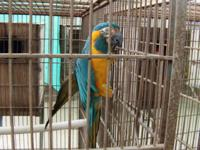 I have pretty and inteligent BLUE THROATED MACAW, 1