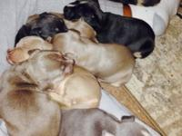 Blue Tri red Tri pups ready to go This ad was posted