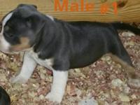 PR'UKC reg show quality blue tri bully puppies. I have