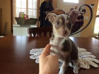 This little blue tri colored male chihuahua is such a