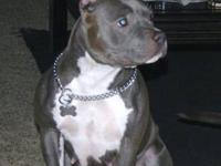 SYN DEVI needs a new home. She is a good loyal PITBULL