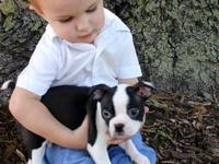 We currently have (5) Blue Water Boston Terrier puppies