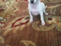 9 week old purebred Apple head Chihuahua. Ready for his