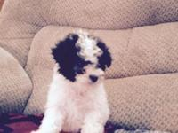 Adorable blue/white female toy poodle Up to date on