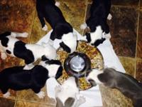6 of 10 Blue XL Pitbulls left. 4 weeks old on puppy