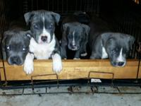 Strong BLUE American Pitbull Terrier Puppies offered
