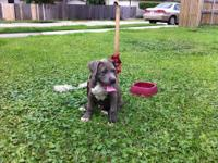 Coon is a 7 month old blue and white pit mix. He is UTD