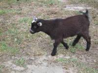 I have a 2 mt old Nigerian Buck Goat that is very