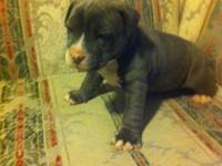 I have 2 bluenose American Pitbull young puppies they