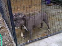 Hi I have a big blue nose Pitbull up for sale. Hate to