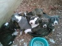 Looking for loving homes'. Blue nose pitbull puppies.