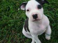 Three pitbull puppies available for sale. Father is a