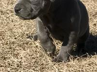 Beautiful Pitbull puppies ready for new home. They�ve