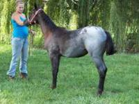 CP Two Eyed Saphire is a blue roan AQHA filly, foaled