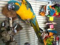 4.5 year old male Blue Throated Macaw. The cage is by