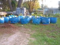 (jewel) hybrid blueberry plants , all plants treated,