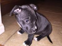 2 females puppy bully short stocky have shots and