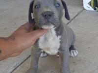 8 weeks old male blue nose $300 firm priced First shots