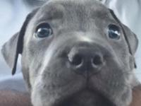 Currently 8 week old, One Female blue nose pitbull