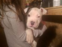 Last pup must go, priced reduced $1000 If your looking