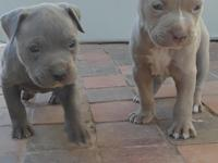 Blue male $350 firm Champange fawn female $350 firm