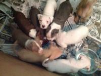 I have blue nose Razo eedge puppies searching for there