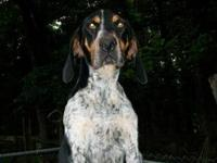Pretty Bluetic Coonhound needs to go to a new home. She