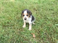 Bluetick Beagle Puppies for sale Litter 1 : Born 8/31 :