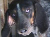 Bluetick Coonhound 1yr old-neutered-male- ready to be