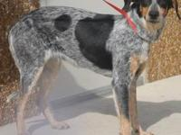 Bluetick Coonhound - Aledo - Medium - Young - Male -
