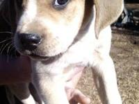 Bluetick Coonhound - Allie - Large - Baby - Female -